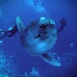 バリ島 ダイビング バリ マンボウ